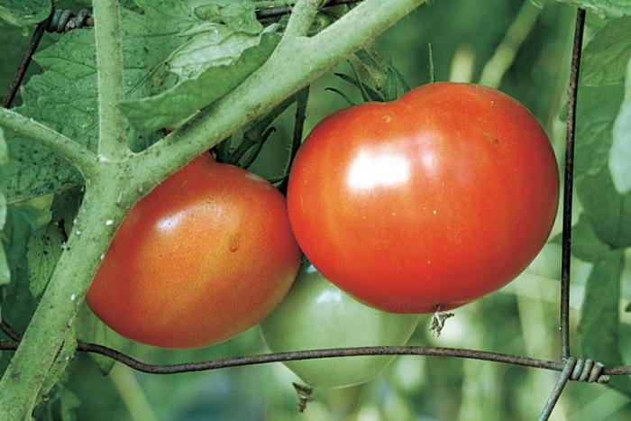 kg32-beefsteak-tomatoes-01